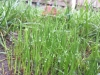 New-Grass-Germination-Morning-Dew